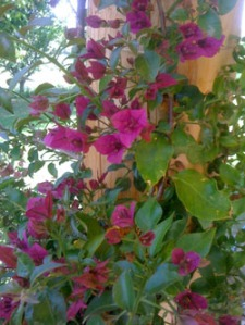 The Bougainvillea has survived the winter and is blooming!