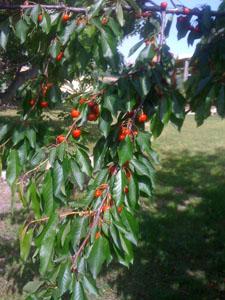 cherries2