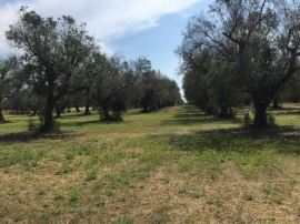 One of the many large olive groves