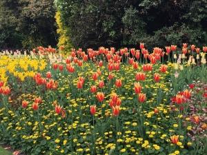 tulipsstjames