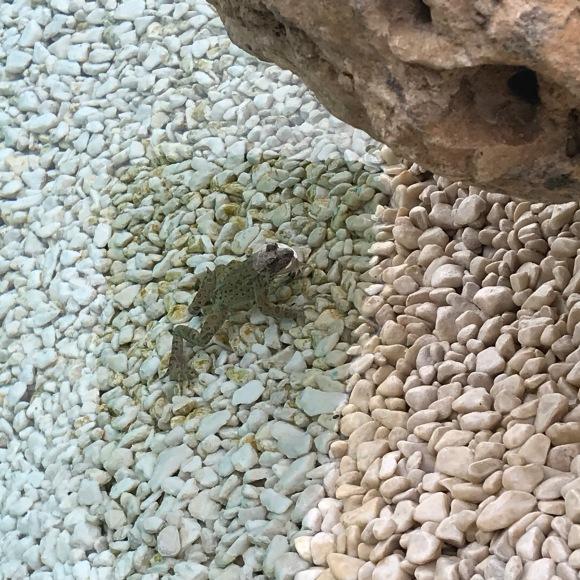 frog in pool